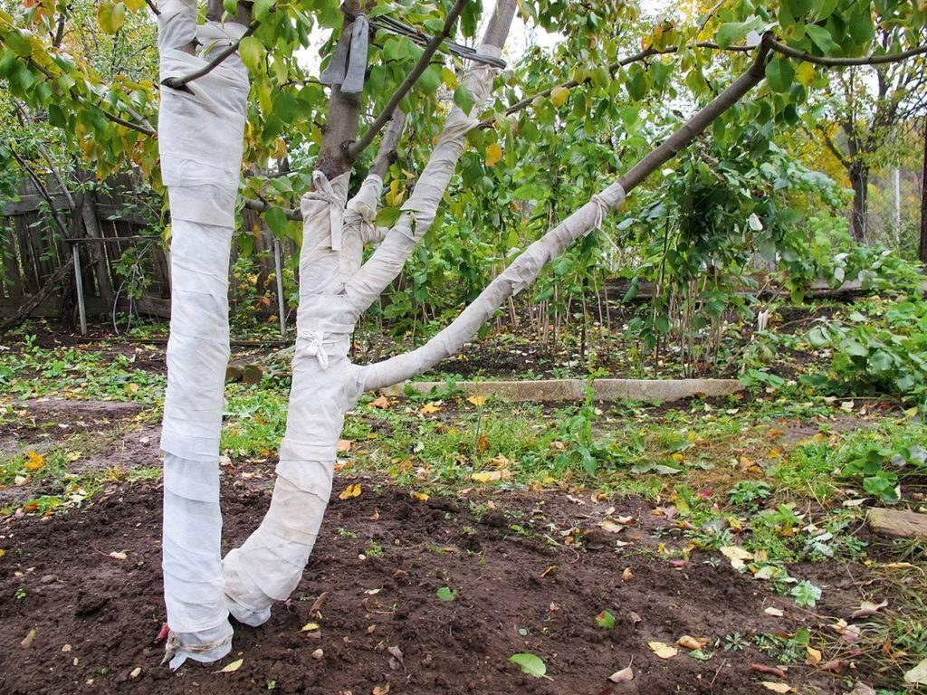 Как и чем укрывать яблоню на зиму от мороза