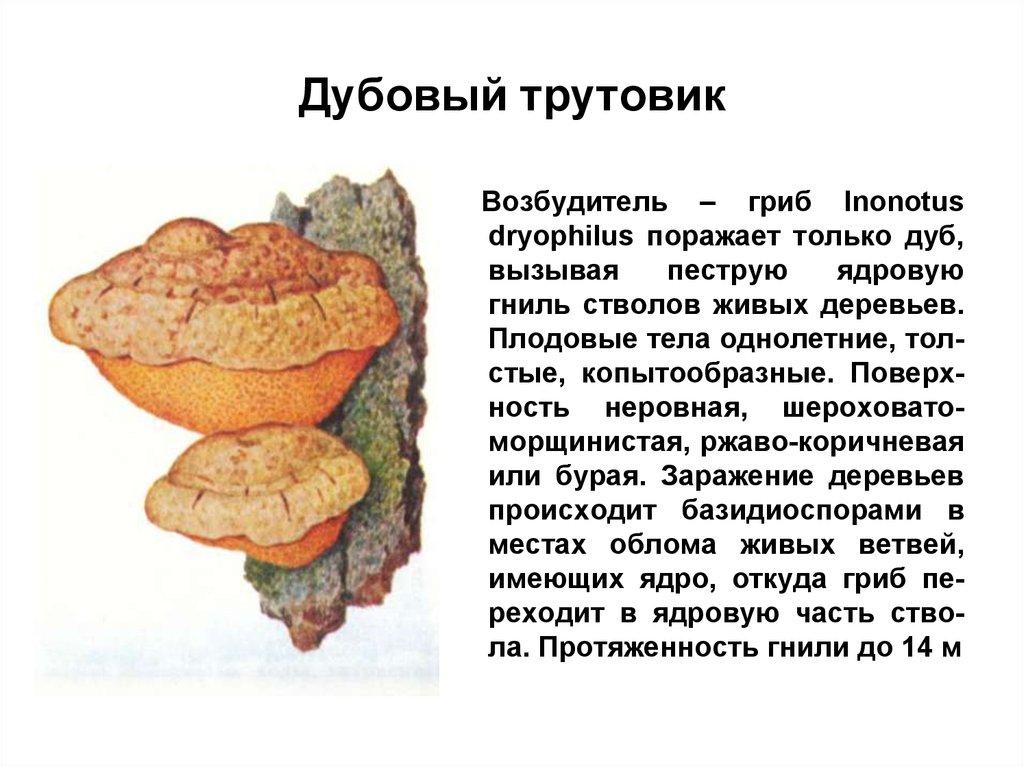 Трутовик лакированный — википедия. что такое трутовик лакированный
