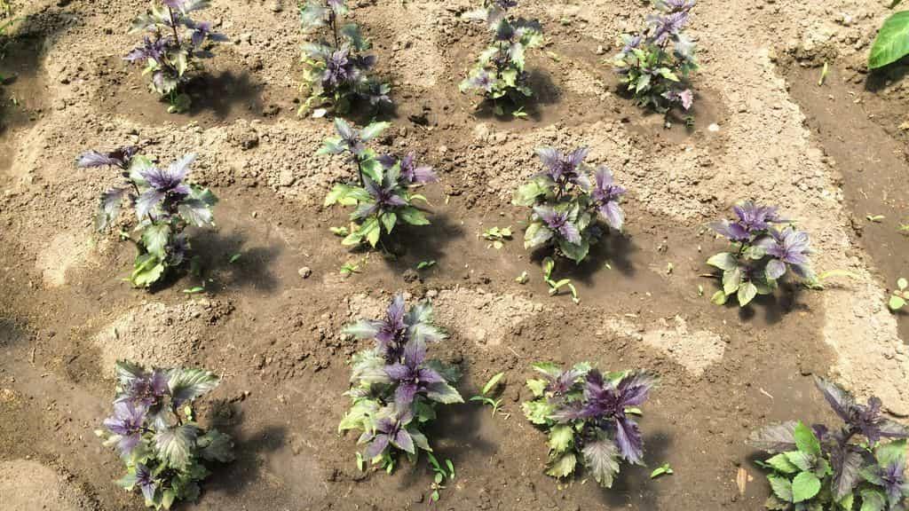 Выращивание базилика в домашних условиях и в открытом грунте