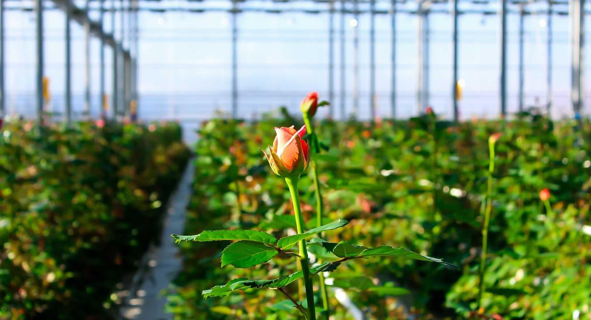 Выращивание роз в теплице круглый год: как допиться высокой урожайности цветов? русский фермер