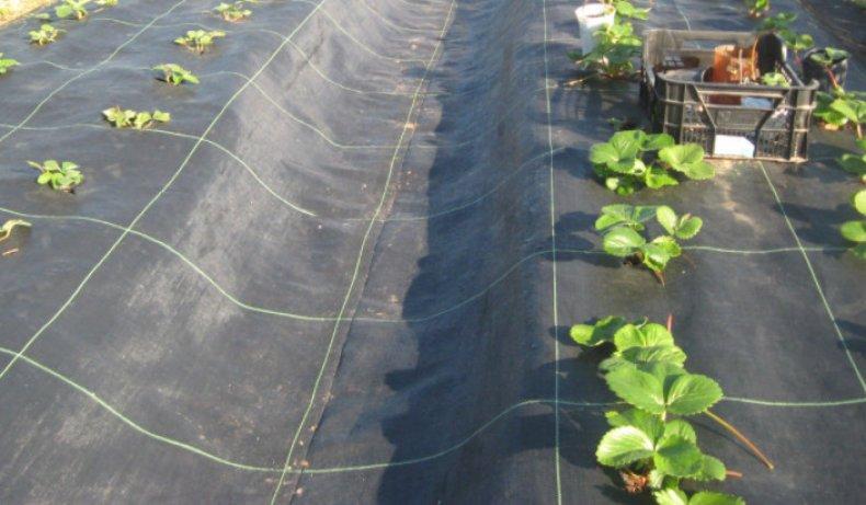 Посадка клубники под черный укрывной материал