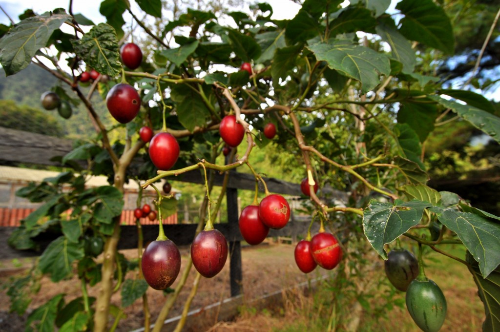 Выращивание тамарилло в комнате, польза, виды, применение