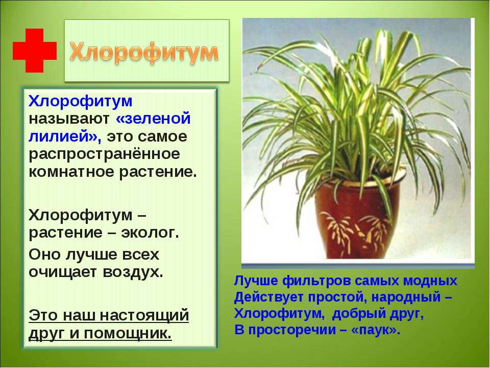Хлорофитум домашний - фото, уход, размножение, пересадка