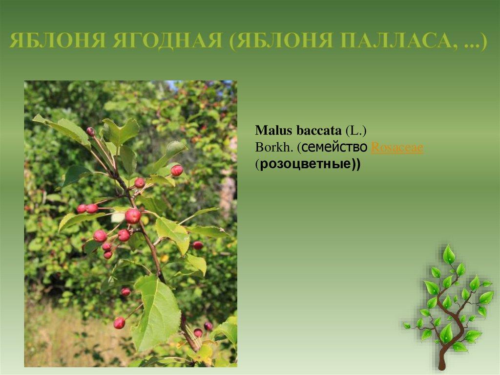 Яблоня ягодная или сибирская: описание сорта