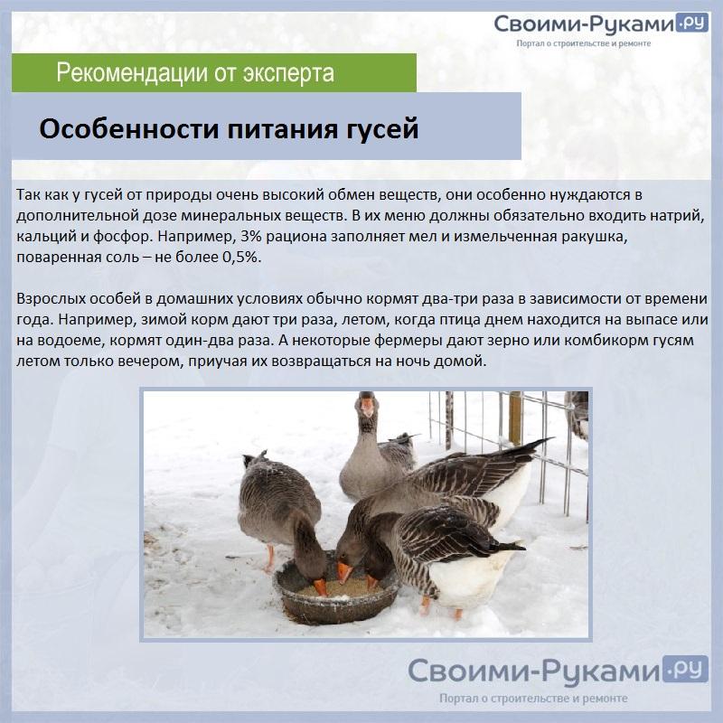 Индоутка птица. описание, особенности, виды, уход и содержание индоуток   живность.ру