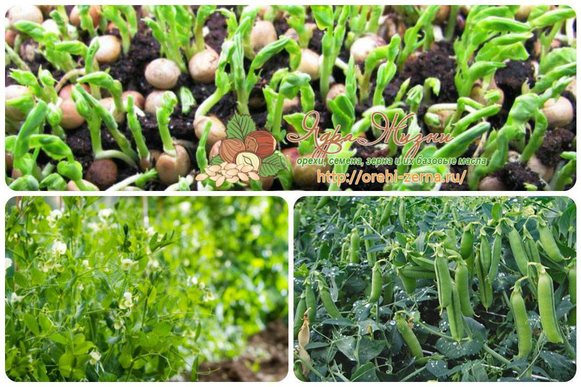 Выращивание и уход за горохом в открытом грунте и теплице на даче: как и когда сажать семена, технология и рассада