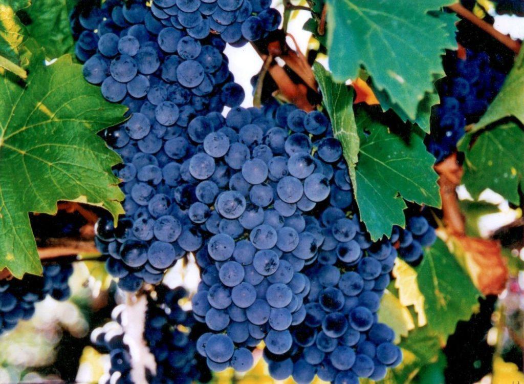 Комплексно устойчивые сорта винограда (к болезням, морозам и вредителям): подборка лучших, сорта винограда устойчивые к мильдью и оидиуму