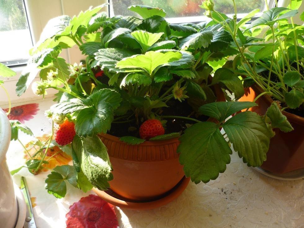 Как вырастить землянику (из семян) на подоконнике в горшочке