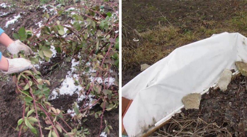 Как правильно подготовить пионы к зиме и нужно ли их укрывать