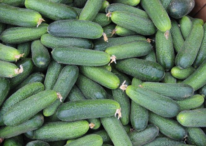 Луховицкий огурец: как выращивать и в чем преимущества