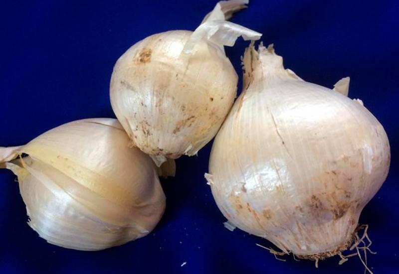 Лук суворова: съедобен или нет, как его едят, фото луковицы, как и когда сажать осенью, выращивание и уход, а также полезные свойства и рецепты приготовления
