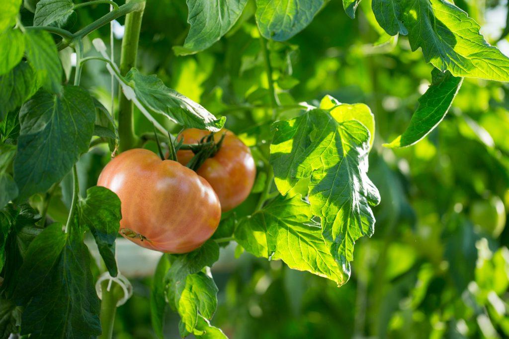 Томат андромеда золотая — описание сорта, урожайность, фото и отзывы садоводов