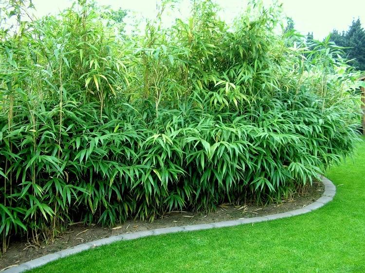 Горная сосна пумилио: описание с фото, размножение, пересадка, особенности ухода, использование в ландшафтном дизайне и советы садоводов