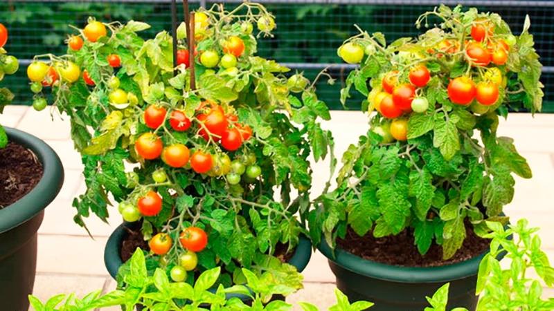 Томат балконное чудо: отзывы, фото, урожайность, описание и выращивание сорта