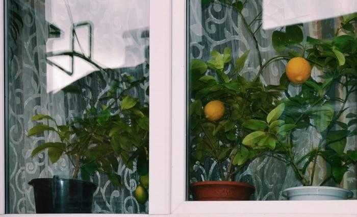 Сорт лимона павловский