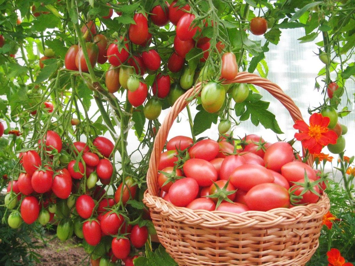 Гибрид томата «cчастье русское f1»: фото, видео, характеристика, урожайность, отзывы и описание.