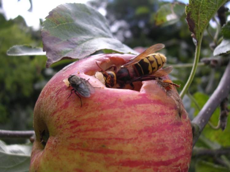 Вредители яблони: описание с фотографиями и способы лечения