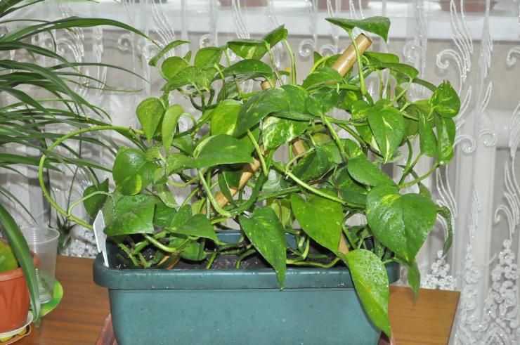 Сциндапсус – уход в домашних условиях, правила размножения, что делать, если желтеют листья?