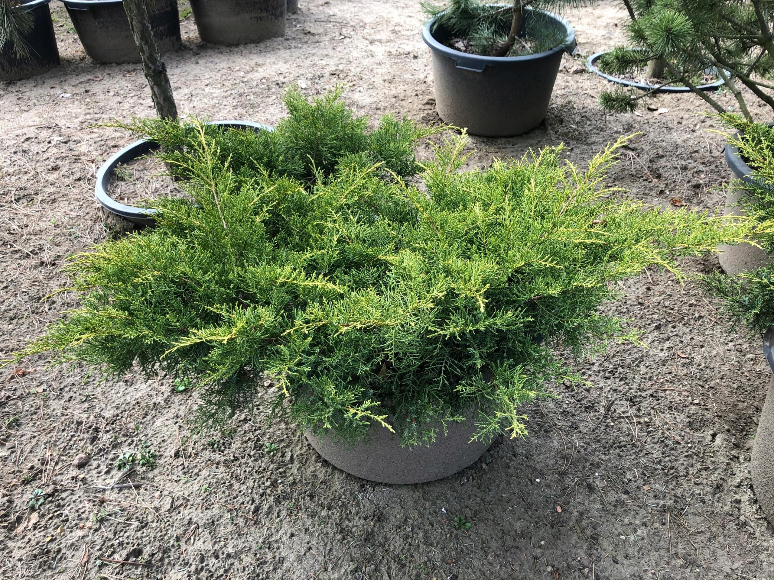 Можжевельник средний (пфитцериана, juniperus pfitzeriana): описание сорта, фото, отзывы