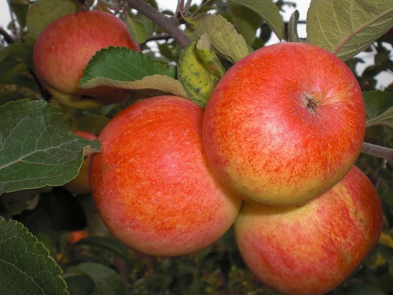 Яблоня коробовка: описание и характеристики сорта, посадка, выращивание и уход, фото