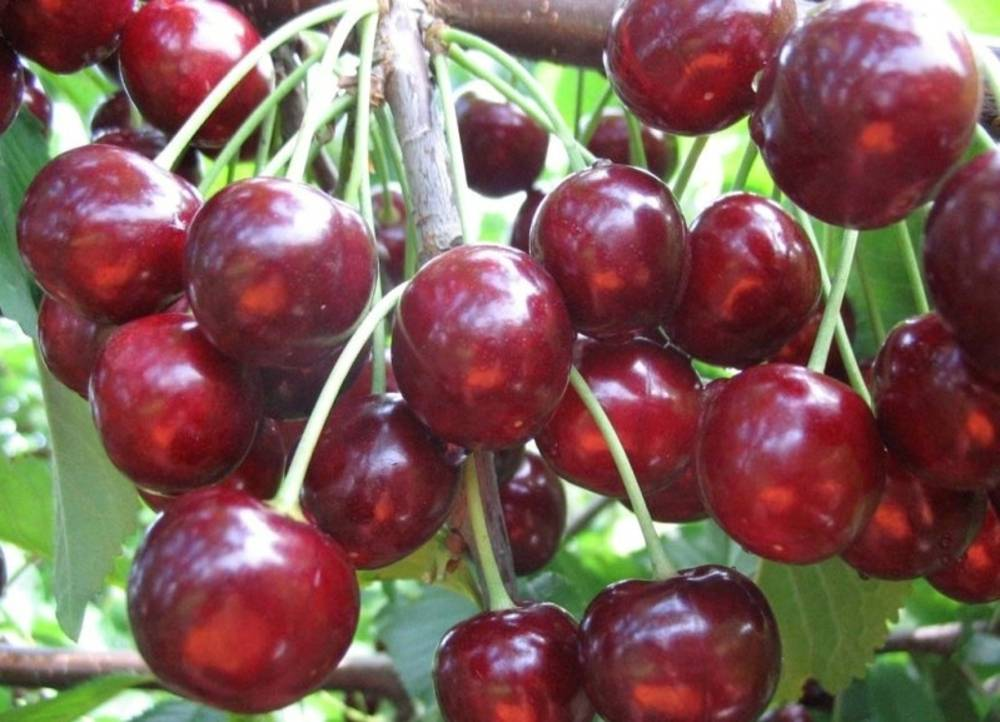 Сорта желтоплодной черешни, подходящие для выращивания в подмосковье
