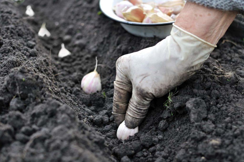 Правила посадки базилика в открытый грунт рассадой