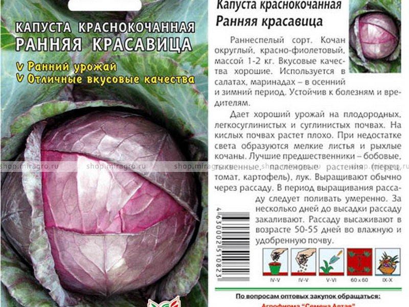Секреты выращивания капусты краснокочанной: посадка, размножение и уход
