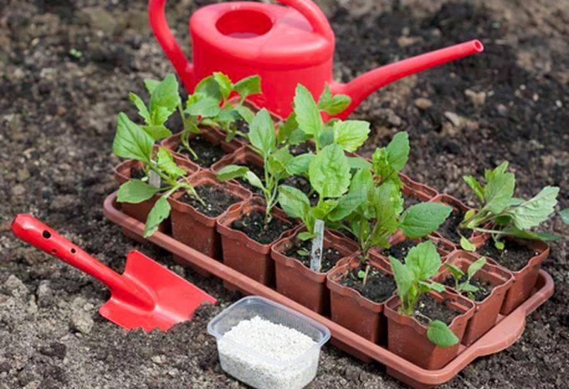 Посадка садовых камелий в саду, выращивание уход в открытом грунте