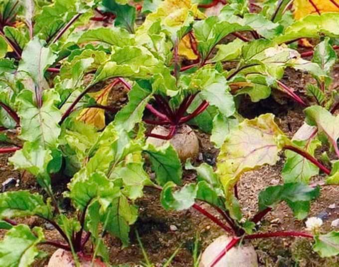 Почему желтеют листья у помидор и что с этим делать? - огород, сад, балкон - медиаплатформа миртесен