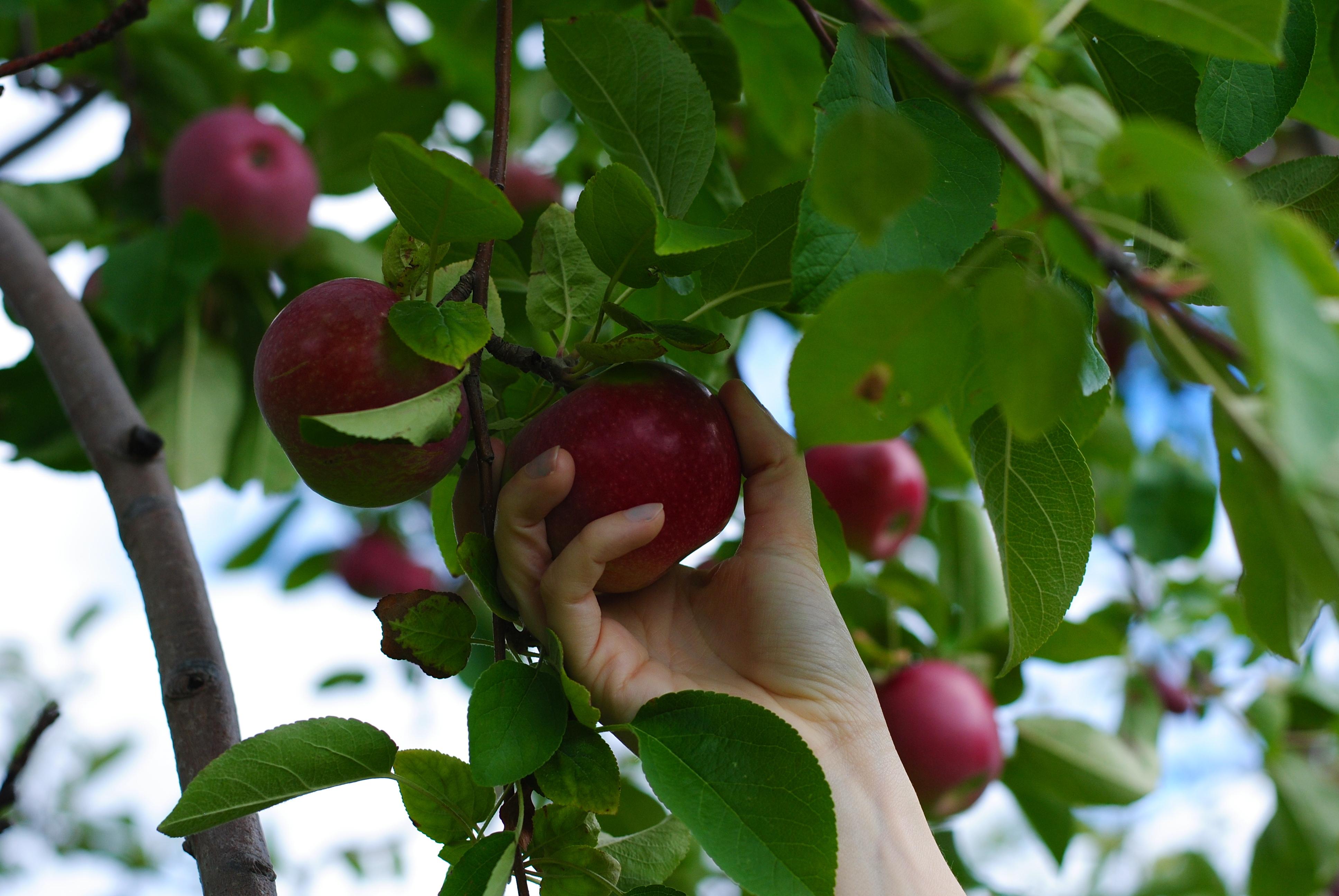 Яблоки фуджи: фото и описание сорта