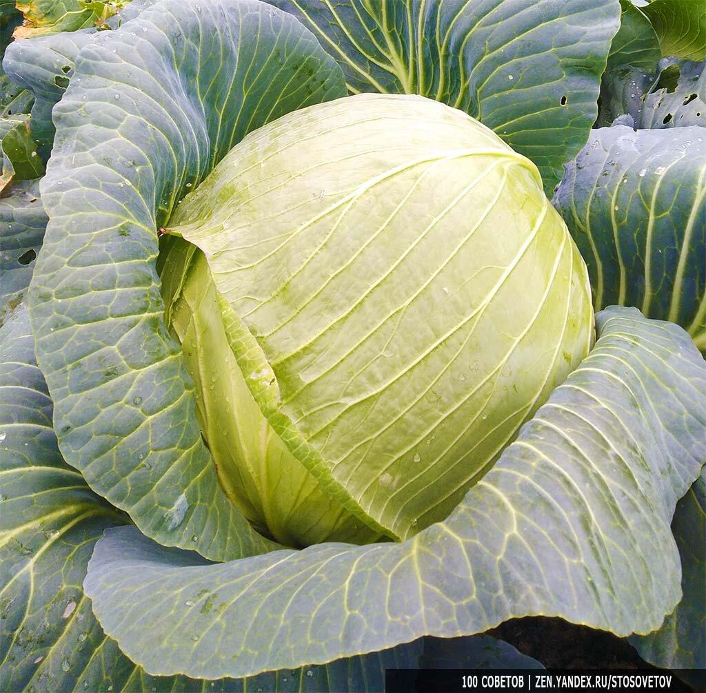 """Капуста """"атрия"""" f1: описание сорта, свойства гибрида, выращивание, склонность к заболеваниям русский фермер"""