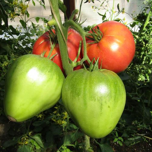 Томат батяня: описание сорта и характеристика урожайности и вкусовых качеств, отзывы о выращивании помидоров в теплице из поликарбоната и в открытом грунте