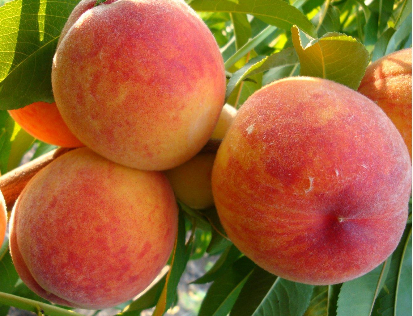 Персик ред хевен описание сорта