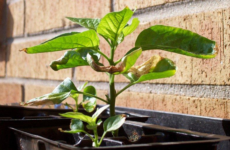 Скручиваются листья у рассады перца: что делать и распространенные причины