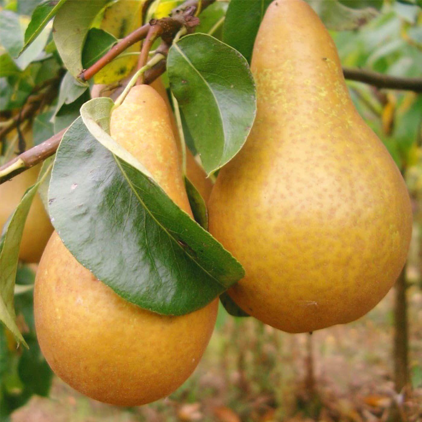 Белорусская поздняя груша: всё о красавице с французскими корнями