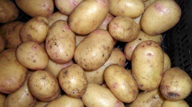 Картофель ирбитский: описание сорта, фото, отзывы, рекомендации по выращиванию, характеристика, урожайность