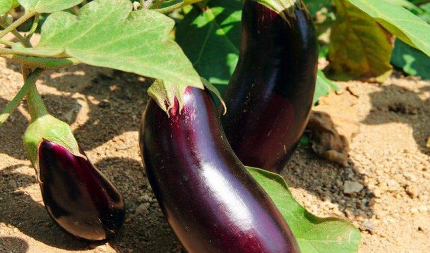 Баклажан вера: характеристика и описание сорта, плюсы и минусы, особенности его выращивания в открытом грунте и в теплице, необходимый уход