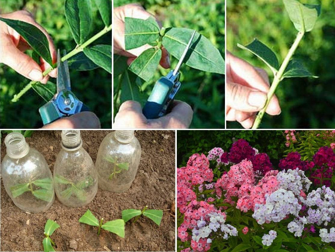 Флоксы. секреты успешного выращивания - всё для дома - медиаплатформа миртесен