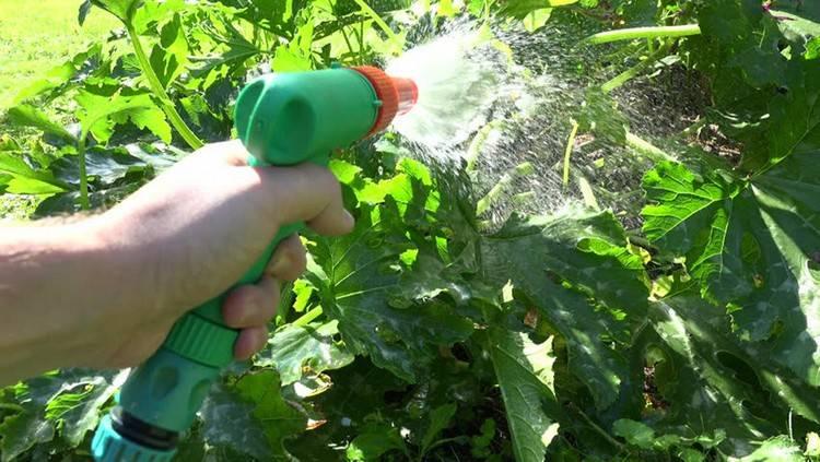 Важность поливочных процедур при выращивании арбузов