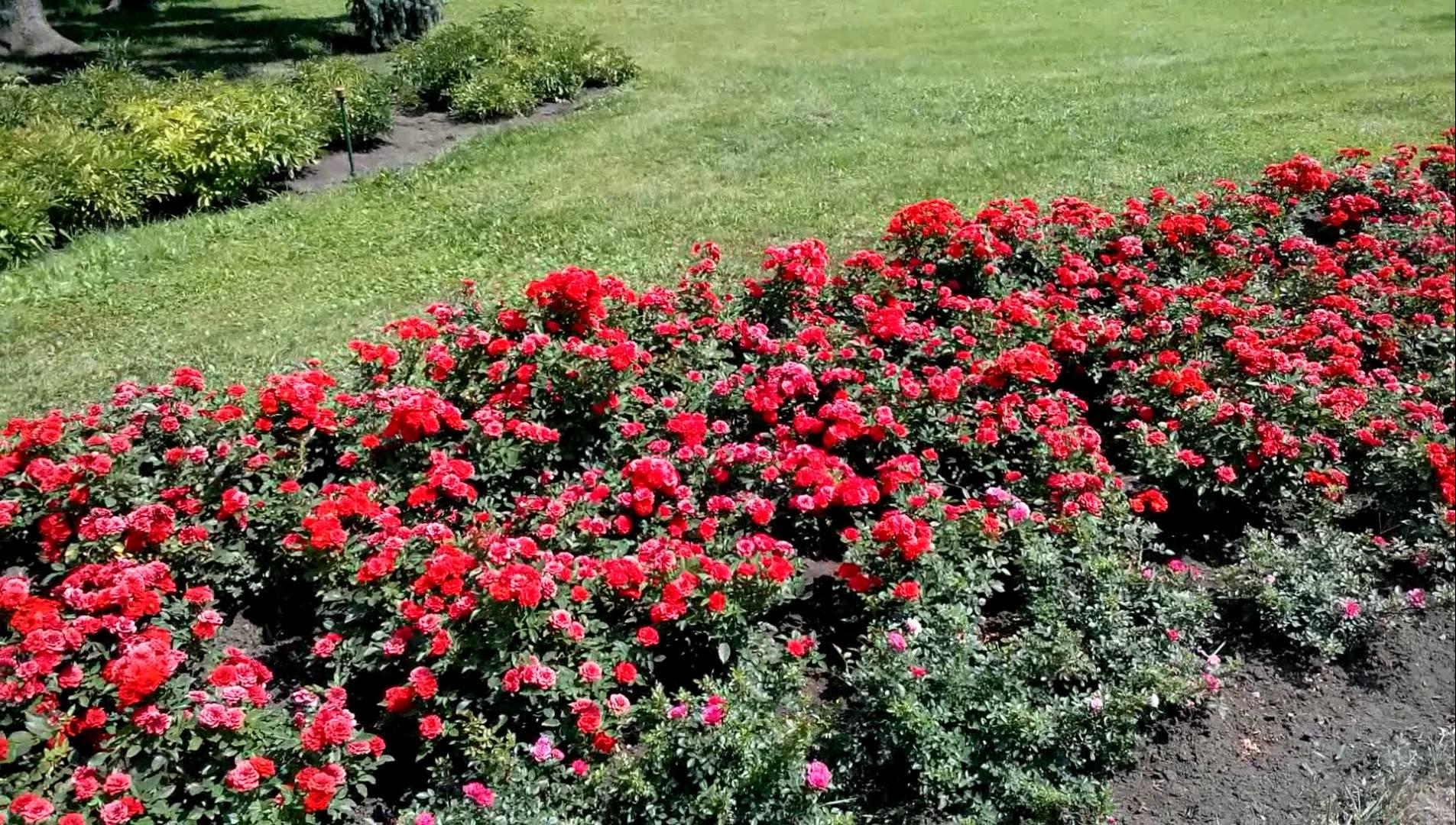 Выращивание почвопокровных роз: посадка и уход в открытом грунте, как размножать