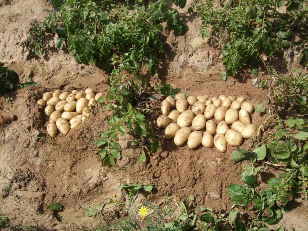 Описание основных сортов картофеля