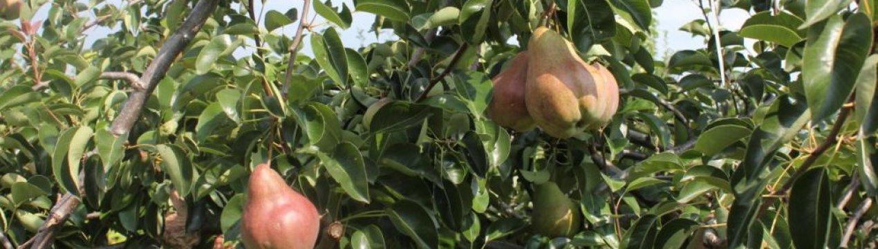 Груша кудесница: описание, фото, отзывы о сорте - растения и огород