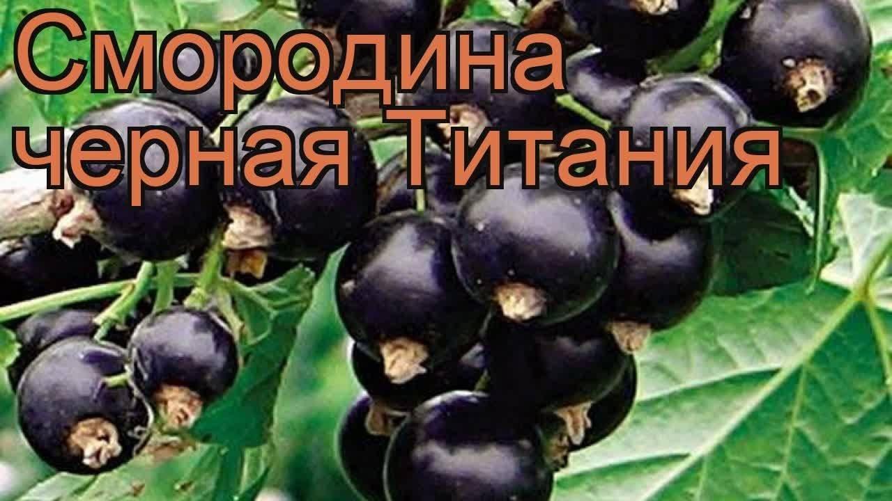 Черная смородина титания описание сорта фото отзывы - скороспел
