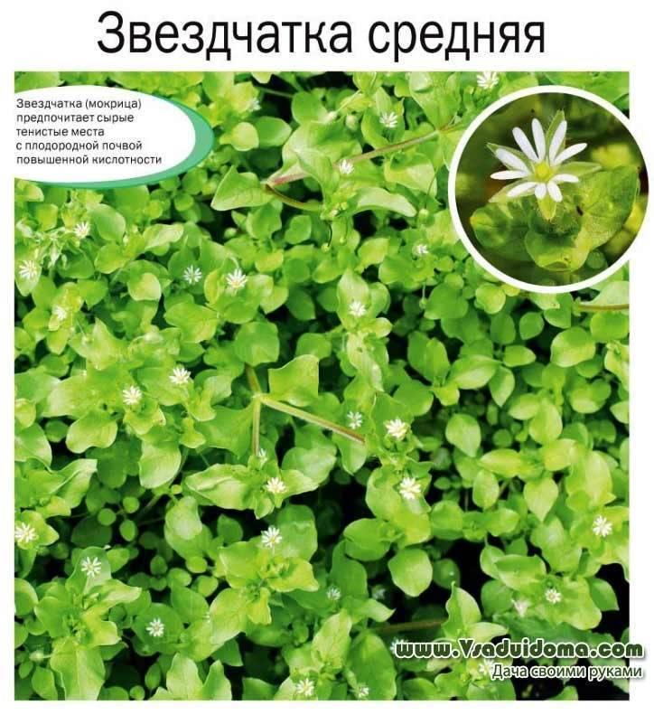 Трава мокрица — полезные свойства и применение нардной медицине
