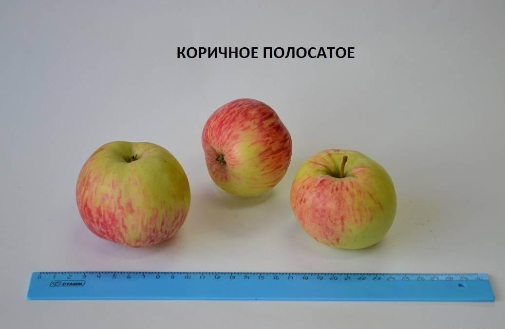 Яблоня коричное полосатое: описание, выращивание, уход
