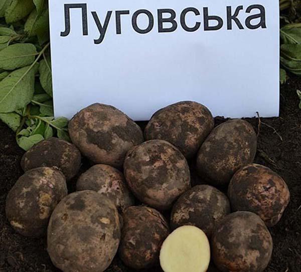 """Картофель """"луговской"""": описание сорта, фото, рекомендации по выращиванию русский фермер"""