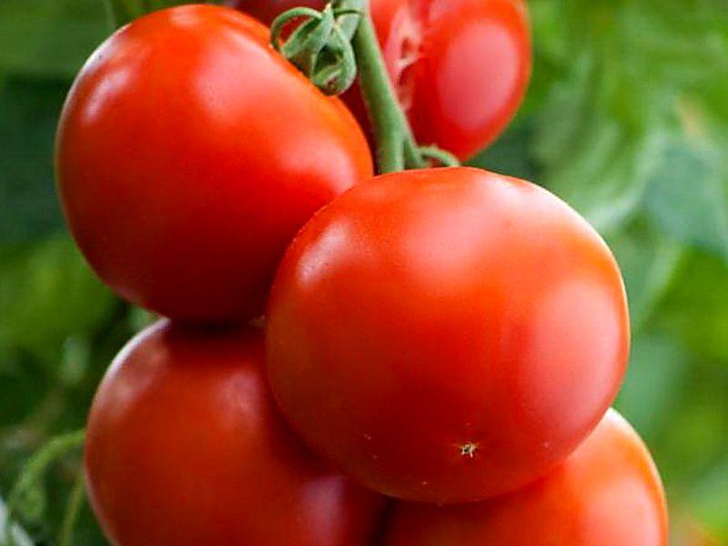 Самые урожайные сорта томатов для теплицы: ранние, лучшие, супер урожайные для подмосковья, сибири, урала