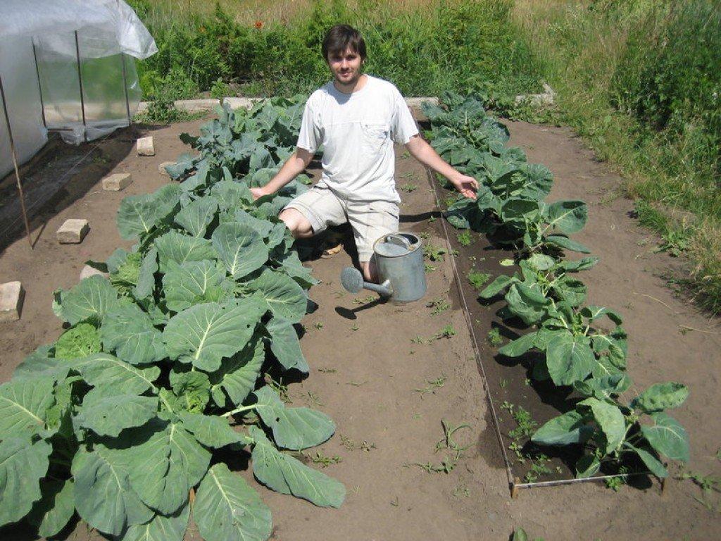 Выращивание цветной капусты. вся агротехника: посадка, уход, подкормки