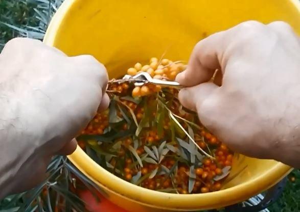 Собираем урожай облепихи легко и быстро: методы и удобные приспособления
