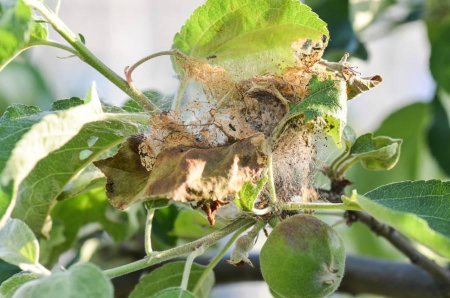 Медяница: портрет вредителя яблонь и груш